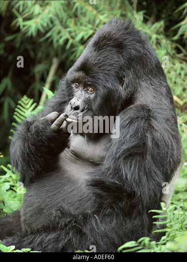 Male Silverback mountain gorilla Mgahinga National Park Uganda - Stock Image