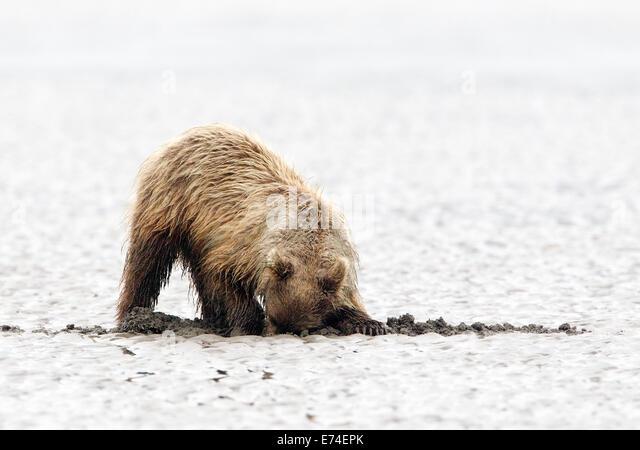 Alaskan Brown Bear Cub Digging for Razor Clams - Stock Image