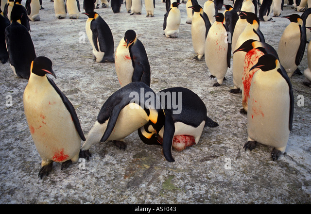 Emperor penguins Aptenodytes forster Chickless adults fight over unattached chick Kidnapping Blood Cape Crozier - Stock Image