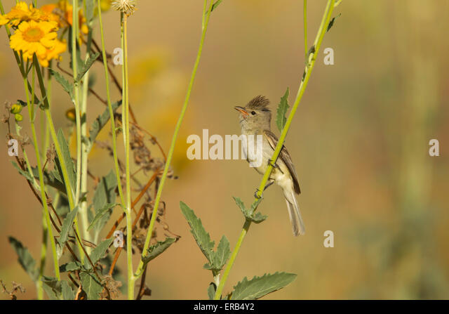Northern Beardless-Tyrannulet Camptostoma imberbe Tucson, Arizona, United States 29 May        Adult       Tyrannidae - Stock Image