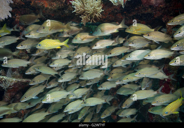 A large school of Tomtate and White grunt lingers near the protection of a coral ledge. - Stock-Bilder