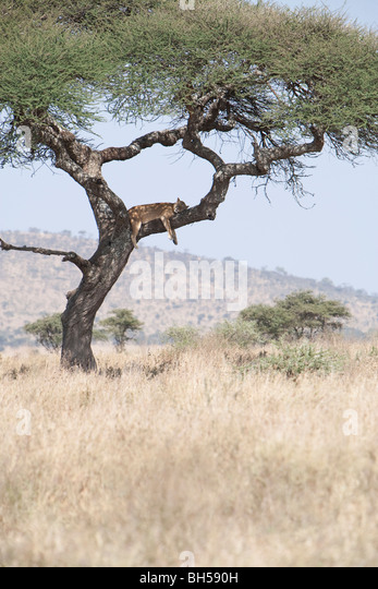 A female lion sleeps in a tree in the Serengeti National Park, Tanzania, East Africa - Stock Image