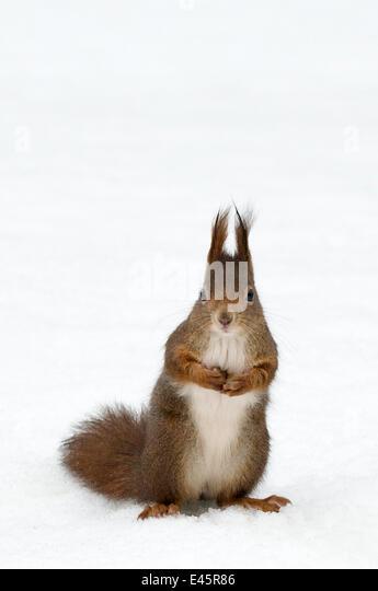 Red squirrel (Sciurus vulgaris) sitting upright in deep snow, Austria, Europe - Stock Image