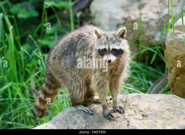 North American raccoon (Procyon lotor), captive, Germany - Stock Image