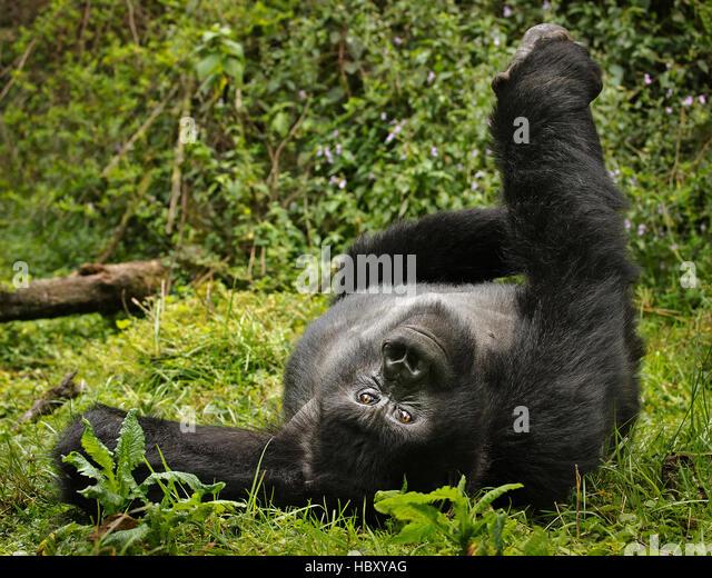 Mountain Gorilla (Gorilla beringei beringei) yoga pose - Stock Image