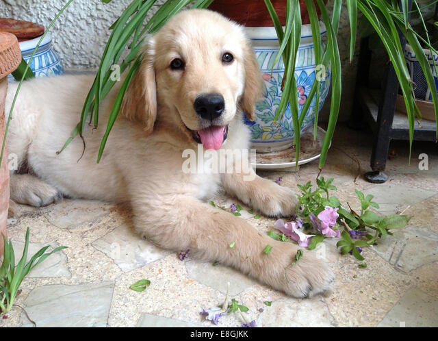 India, Delhi, South West Delhi, New Delhi, Vasant Vihar, Two month old Golden Retriever puppy chewing plants - Stock Image
