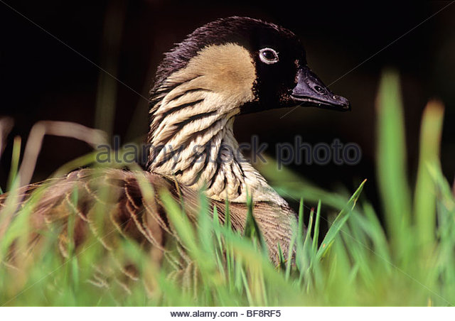 an analysis of the branta sandvicensis or looks similar to the canada goose Thalasseus sandvicensis acuflavidus  the track record regarding other similar issues makes this a remarkably safe position  zoological citation notes --b.