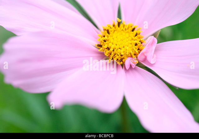beautiful pink flower gorgeous fern like foliage cosmos sonata fine art photography Jane Ann Butler Photography - Stock Image