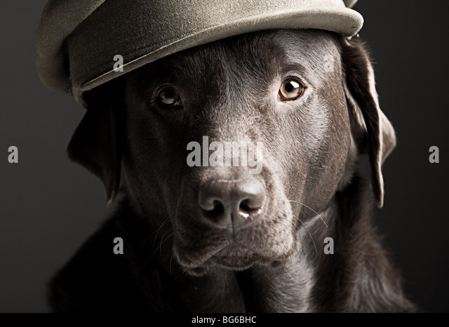 Humourous Portrait of a Labrador in Army Hat - Stock Image