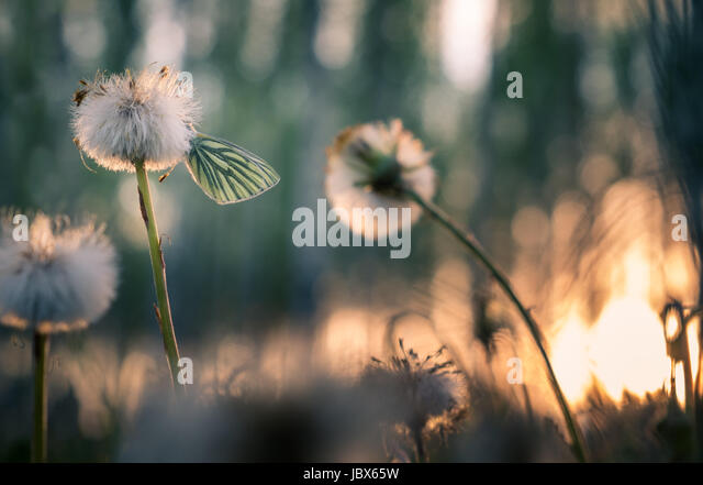 Close-up with butterfly and dandelion at spring evening. Nice background light. - Stock Image