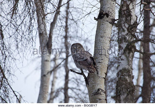 A great gray owl perches on a dead cottonwood tree and surveys the area around it for voles while hunting - Stock Image