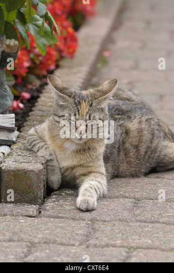 Tabby cat lying next to a flower bed, eyes closed - Stock Image
