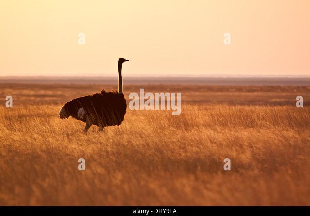 Ostrich at sunset - Stock-Bilder