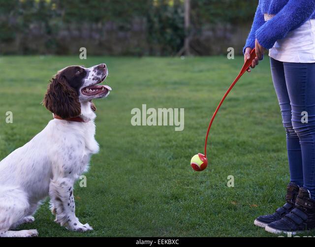 Girl Throwing Ball For Pet Spaniel Dog In Garden - Stock Image