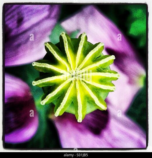 Close up of green poppy seed head with purple petals - Stock Image