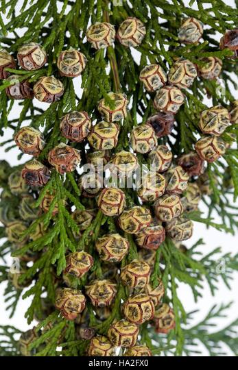 branch of coniferous tree (Chamaecyparis lawsoniana) - Stock Image