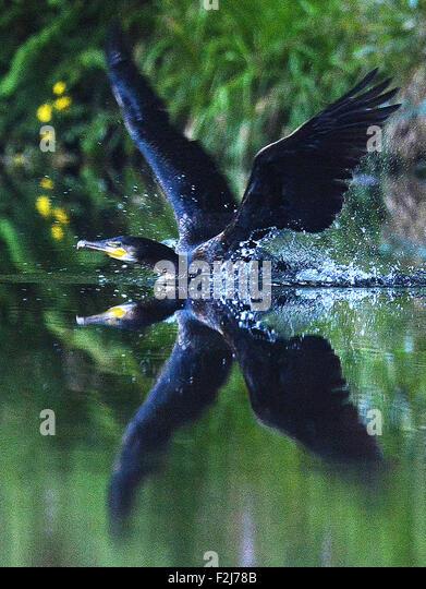 A Cormorant on the river Plym near Plym Bridge,Plymouth,Devon. - Stock-Bilder