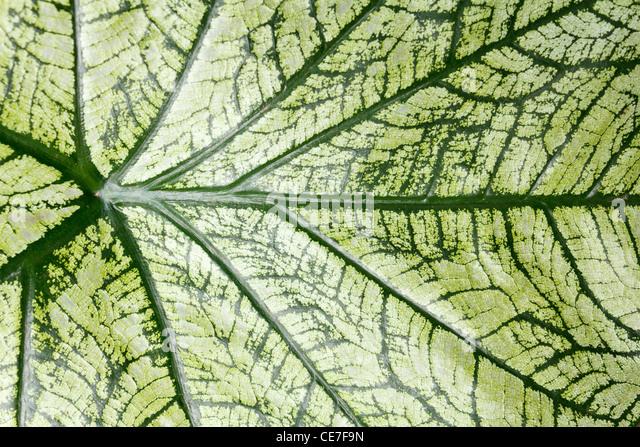 Tropical caladium leaf background - Stock-Bilder