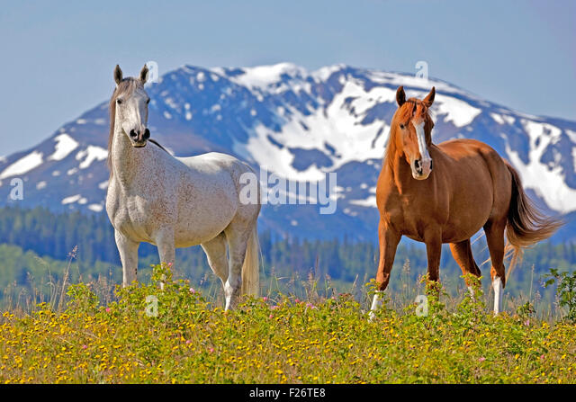 Grey and chestnut Arabian Mares standing in meadow in front of snow-covered Mountain. - Stock Image