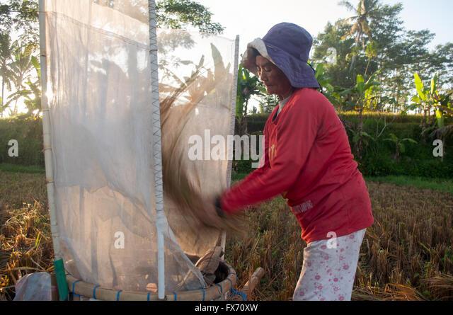 Harvesting Rice Paddy in Bali - Stock Image