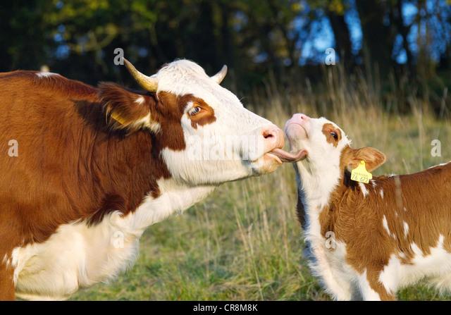 Cow licking calf - Stock Image