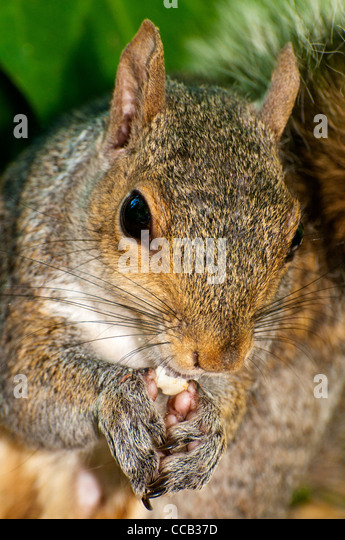 Close up shot of a grey squirrel eating a peanut - Stock Image