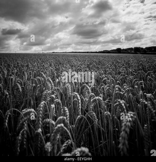 The ripening fields in Leicestershire England - Stock-Bilder