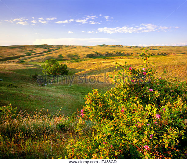 Medicine Tail Coulee with wild rose.  Little Bighorn Battlefield National Monument, Montana - Stock Image