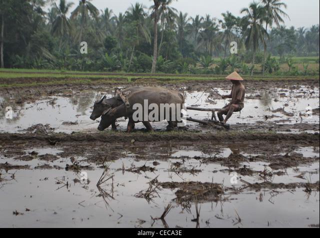 farmer plowing rice field ox village Yogyakarta Indonesia - Stock Image