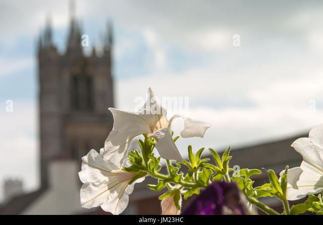 Melton Mowbray, UK. 25th July, 2017. Blue skies, white clouds and sunshine flowers in bloom add to the picture postcard - Stock Image