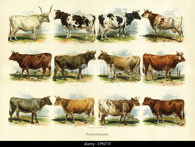 agriculture, livestock farming, illustrated chart cattle breed, Germany, circa 1895, cows, cow, bull, bovine, cattle, - Stock Image