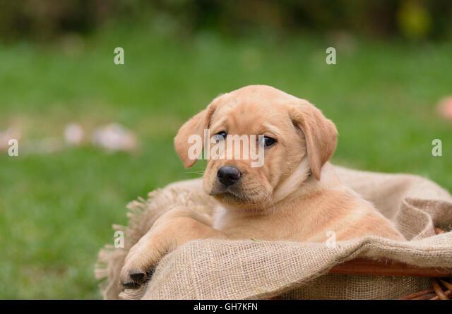 Yellow Labrador puppy sitting in dog basket - Stock Image