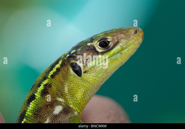 Wall lizard, Podarcis muralis. - Stock Image