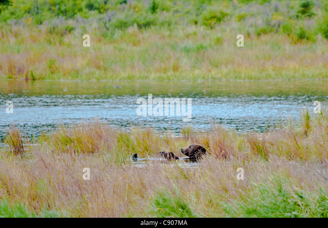 Grizzly Bear, Ursus arctos horriblis, relaxing on his back in the Brooks River, Katmai National Park, Alaska, USA - Stock Image