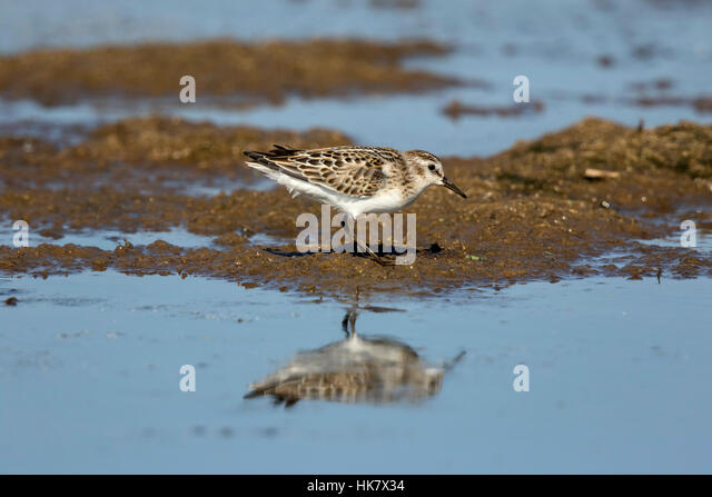Little Stint - late summer at Deepdale Marsh Norfolk - Stock-Bilder