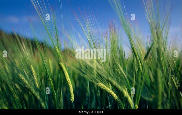 a barley field, Dorset, England, UK - Stock Image