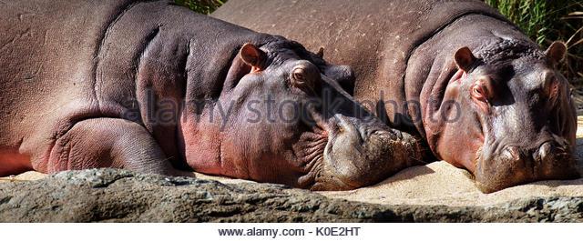 Two Hippos (Hippopotamus amphibius) sleeping on riverbank (panorama stitched image) - Kruger National Park (South - Stock Image