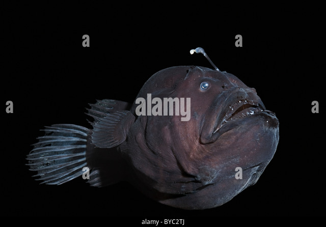 deep sea anglerfish or black seadevil, Diceratias pileatus, Hawaii - Stock Image