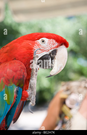 large parrot lifting it's claw to wave and giving a high five - Stock-Bilder