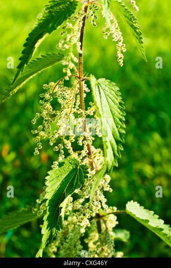 stinging nettle  with eatable seeds - Stock Image