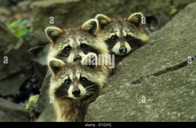 Three North American raccoon babies posing in the forest - Stock Image