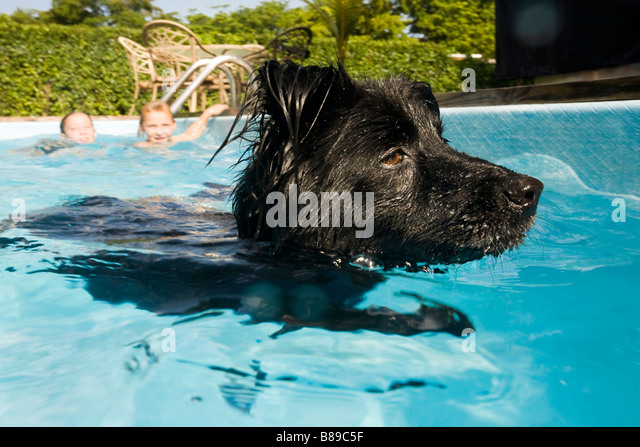 dog swimming in pool - Stock Image