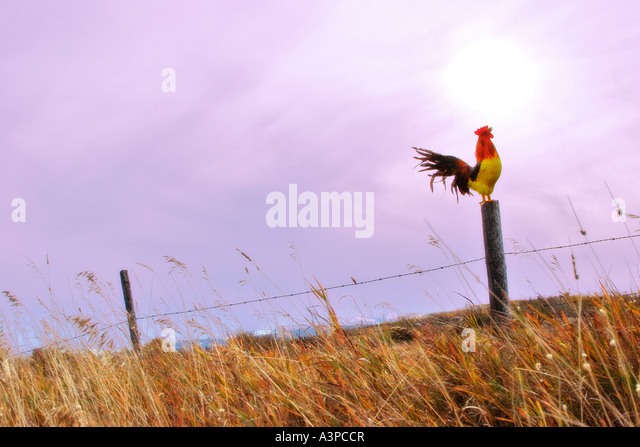 Rooster crowing on fence - Stock Image