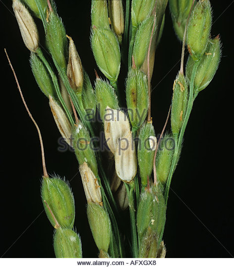 Sheath blight Rhizoctonia solani lesions on grains on a rice ear - Stock Image
