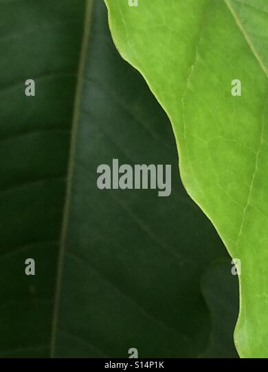 Overlapping green leaves of contrasting shades. - Stock Image