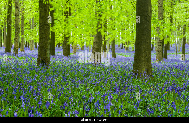 Bluebells in full bloom covering the floor in a carpet of blue in a beautiful beach tree woodland in Hertfordshire, - Stock-Bilder