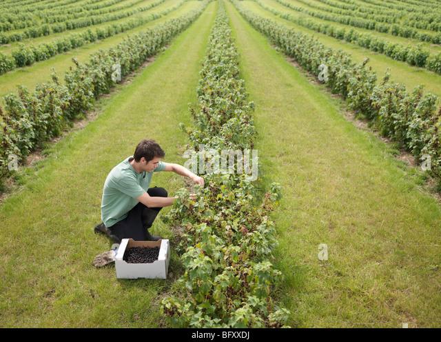 Man Harvesting In Blackcurrants Field - Stock Image