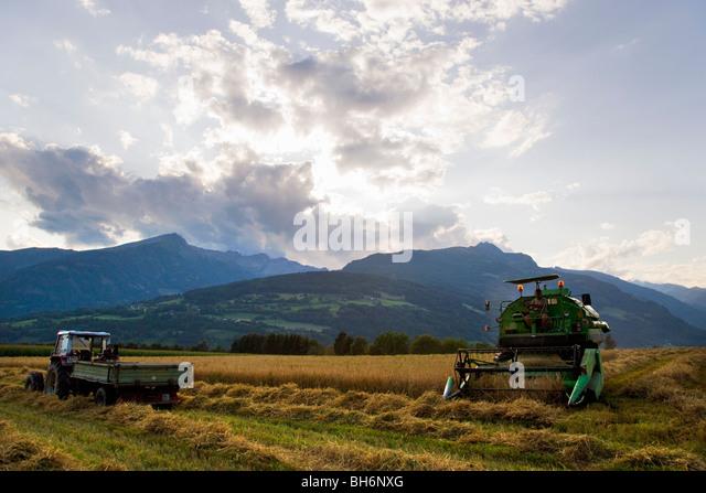 harvesting oat - Stock Image