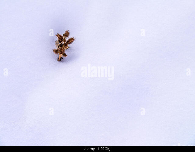 Isolated seed pod cluster in snow, minimalist - Stock Image