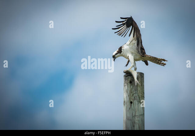 Osprey with fish in talons on a wooden pole, Maryland, USA - Stock Image